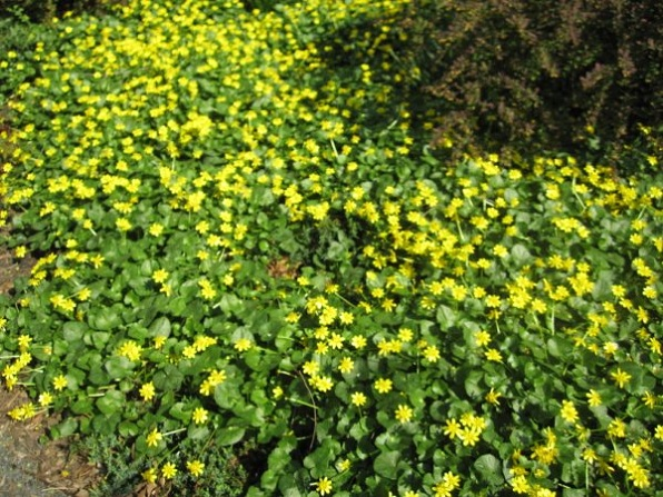 Ranunculus ficaria lesser celandine seward park garden ranunculus ficaria mightylinksfo