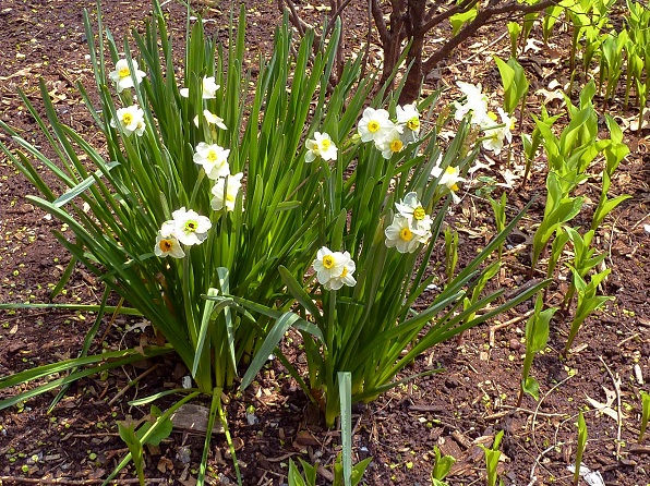 Daffodils - White
