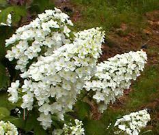 Oakleaf blossom