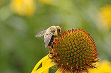 Echinacea with bee